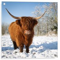 Highland cow in snow, Acrylic Print