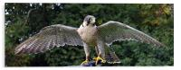 Peregrine/Lanner Falcon - display, Acrylic Print
