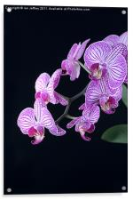 Orchid Blossoms, Acrylic Print