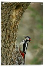 Greater Spotted Woodpecker brings food, Acrylic Print