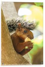 red tailed squirrel, Acrylic Print