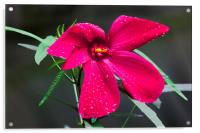 purple hibiscus after early morning rain, Acrylic Print