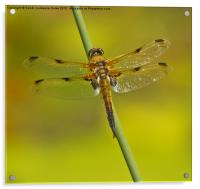 Four Spotted Chaser Dragonfly II, Acrylic Print