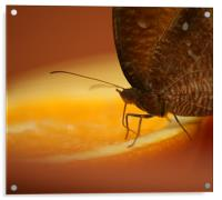 Owl Spotted Butterfly, Acrylic Print