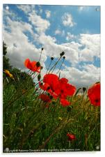 Wild poppies by nature ., Acrylic Print