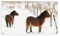 Ponies In The Snow, Acrylic Print