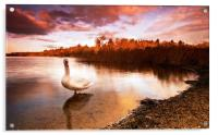 Swan On The Lake, Acrylic Print