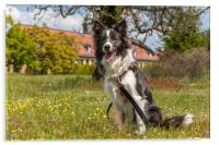 Border Collie in the Park, Acrylic Print