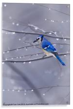 BLUE JAY IN THE RAIN, Acrylic Print