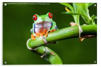 Red Eyed Tree Frog, Acrylic Print