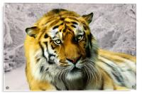 Sumatran Tiger in Snow, Acrylic Print