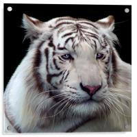 Royal Bengal White Tiger, Acrylic Print