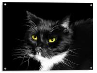 Sox - Domestic Black and White Cat, Acrylic Print