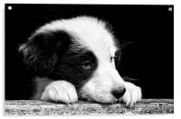 Sheepdog puppy looking out, Acrylic Print