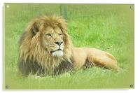 Wallace the Lionheart, Acrylic Print
