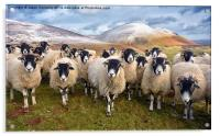 The Inquisitive Sheep, Acrylic Print