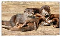 Otters Playing., Acrylic Print