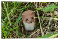 Weasel in the grass., Acrylic Print