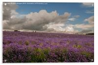 A walk in the Lavender field., Acrylic Print