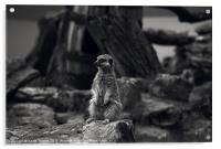 Meerkat Canvases and prints, Acrylic Print
