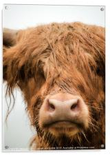 Highland Cow, Bad Hair Day, Acrylic Print