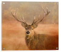 Red Deer Stag , Acrylic Print