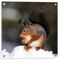 Red Squirrel in snow, Acrylic Print