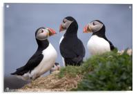 A Contemplation of Puffins, Acrylic Print