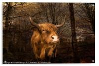 Highland Toffee Coo, Acrylic Print