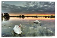 Swans at Sunset, Acrylic Print