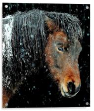 Horse of the north, Acrylic Print