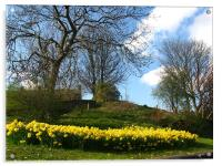 Lots of daffodils in a park, Acrylic Print