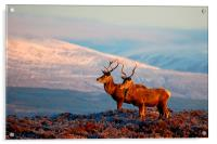 Red deer stags, Acrylic Print