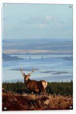 Stag Overlooking the Beauly Firth and Inverness, Acrylic Print