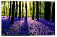 BLUEBELL WOOD, Acrylic Print