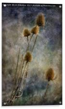 Teasels at Crail Harbour, Acrylic Print