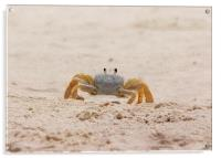Portrait of a Ghost Crab, Acrylic Print