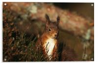 RED SQUIRREL IN THE HEATHER, Acrylic Print
