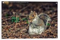 Grey Squirrel, Acrylic Print