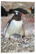 Gentoo Penguin With Chick, Acrylic Print