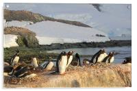 Gentoo Penguins In The Rookery, Acrylic Print