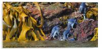 Snares Crested Penguins , Acrylic Print