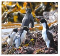 Snares Crested Penguins, Acrylic Print
