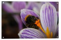 Sprig Bee In Action, Acrylic Print