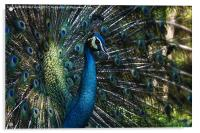 Male Peacock, Acrylic Print