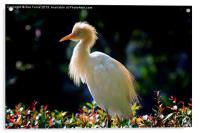 Egret with back lighting, Acrylic Print
