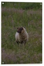Horned sheep in pasture, Acrylic Print