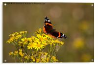 Red Admiral butterfly, Acrylic Print