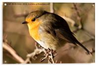 Robin Red Breast, Acrylic Print