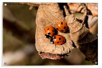 Three Ladybirds on a dead leaf (2), Acrylic Print